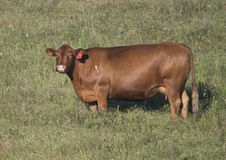 Red Angus cow in a field in Oklahoma Royalty Free Stock Photography