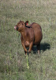 Red Angus cow in a field in Oklahoma Stock Photo