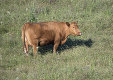 Red Angus cow in a field in Oklahoma. Pictured is a red angus cow standing looking at the camera in a field in Oklahoma.  The angus is used in beef production Stock Images