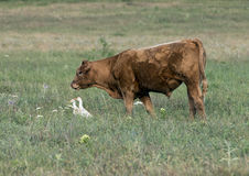 Red Angus cow in a field in Oklahoma, with two Cattle Egret Royalty Free Stock Photo