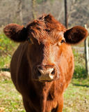 Red angus cow in grassy field front view