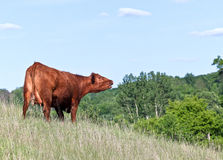 Red Angus cow vocalizing Stock Images