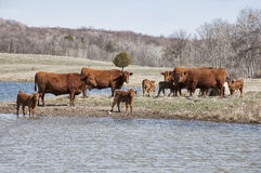 Red angus cows with calves Royalty Free Stock Photography