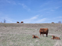 Red angus cows with calves Stock Photos