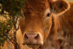 Red Angus Head Royalty Free Stock Photo