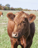 Red Angus Stock Image