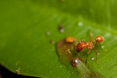 Red ant. A red ant drinking on a green leaf royalty free stock image