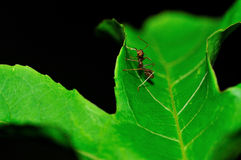 Red ant. Macro shoot for A red ant stand on a green leaf stock images
