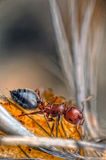 Red Ant. An ant in his natural habitat Stock Photos