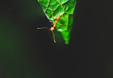 Red ant Royalty Free Stock Photography