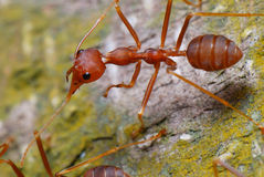 Red Ant. A closeup photo taken on a red worker ant crawling along a tree trunk Stock Photos