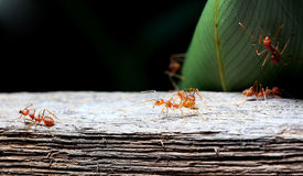 Red ant Royalty Free Stock Image