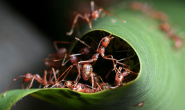 Red ant. Teamwork in green nature or in the garden Royalty Free Stock Image