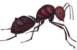 Red Ant Stock Image