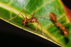 Red Ant Royalty Free Stock Photos