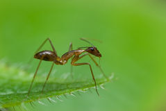 A red ant Royalty Free Stock Photos