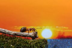 Red ant admires the sunset. The red ant sits on a log and admires the sun at sunset stock image