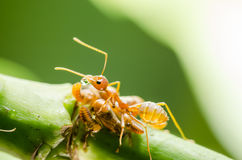 Red ant and aphid on the leaf Royalty Free Stock Photography