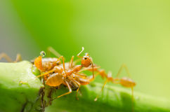 Red ant and aphid on the leaf Stock Image