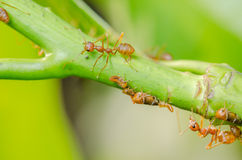 Red ant and aphid on the leaf Stock Photos