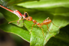 Red ant bait eaten Stock Photography