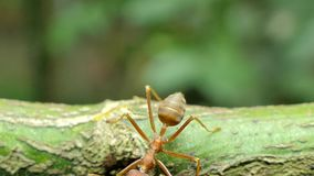 Red ant on branch in tropical rain forest. stock video footage