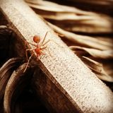 Red ant. Brown images with red ant on the branch Royalty Free Stock Photography