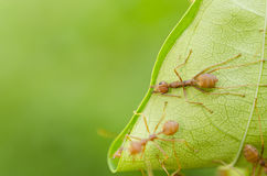 Red ant. Build nest with green leaf Royalty Free Stock Images