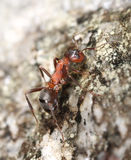 Red ant climbing on a rock Royalty Free Stock Photography