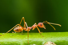 Red ant. Close up of red ant on green leaf stock photos
