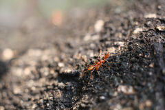 Red ant. Royalty Free Stock Photos