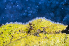 Red Ant covered with water drops. Close up Macro Red Ant covered with water drops on yellow leaf blue bokeh royalty free stock images