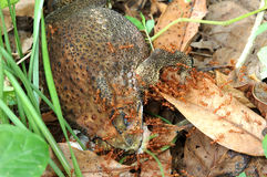 Red ant eating dead toad on the ground Royalty Free Stock Image