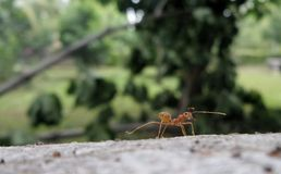 Red ant on falling tree in the garden Stock Photo