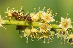 Red ant. Stock Photography