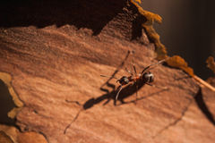 Red ant Formica rufa sit on bark Stock Photos