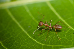 Red ant green leaf macro Stock Images