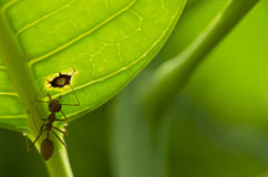 Red ant green leaf macro Royalty Free Stock Photo