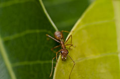 Red ant green leaf macro Stock Image