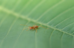 Red ant on green leaf. In nature Stock Photo