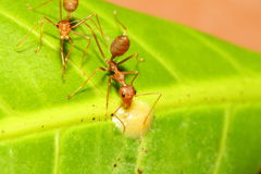 Red ant on green leaf Stock Photos