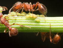 Red Ant herds small green aphids on green plant stem with black Stock Photo