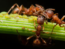 Red Ant herds small green aphids on green plant stem Stock Photo