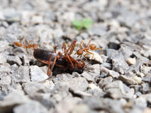Red Ant insect swarm of fight fiercely. Stock Photography