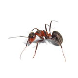 Red ant isolated on white Royalty Free Stock Images