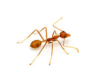 Red ant isolated on white background. royalty free stock photos