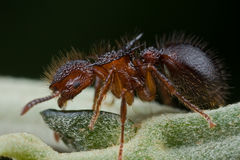 Red ant on leaf Stock Image