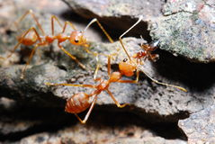 Red ant on leaf Royalty Free Stock Photos