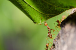 Red ant on the leaf Royalty Free Stock Photos