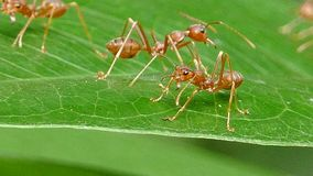 Red ant on leaf in tropical rain forest. Red ant (Oecophylla smaragdina Fabricius) on leaf in tropical rain forest stock video